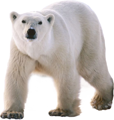 Download Free png Polar white bear PNG, Download PNG image with.