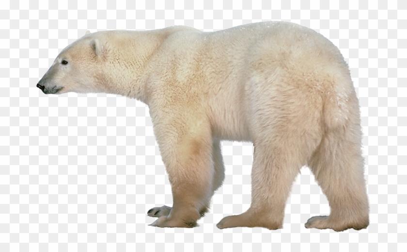 Polar White Bear Png.