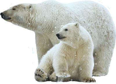 Polar Bear PNG Transparent Images.