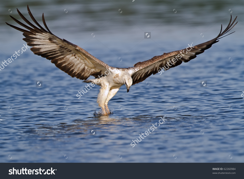 White Bellied Sea Eagle Attacking Fish Stock Photo 62260984.