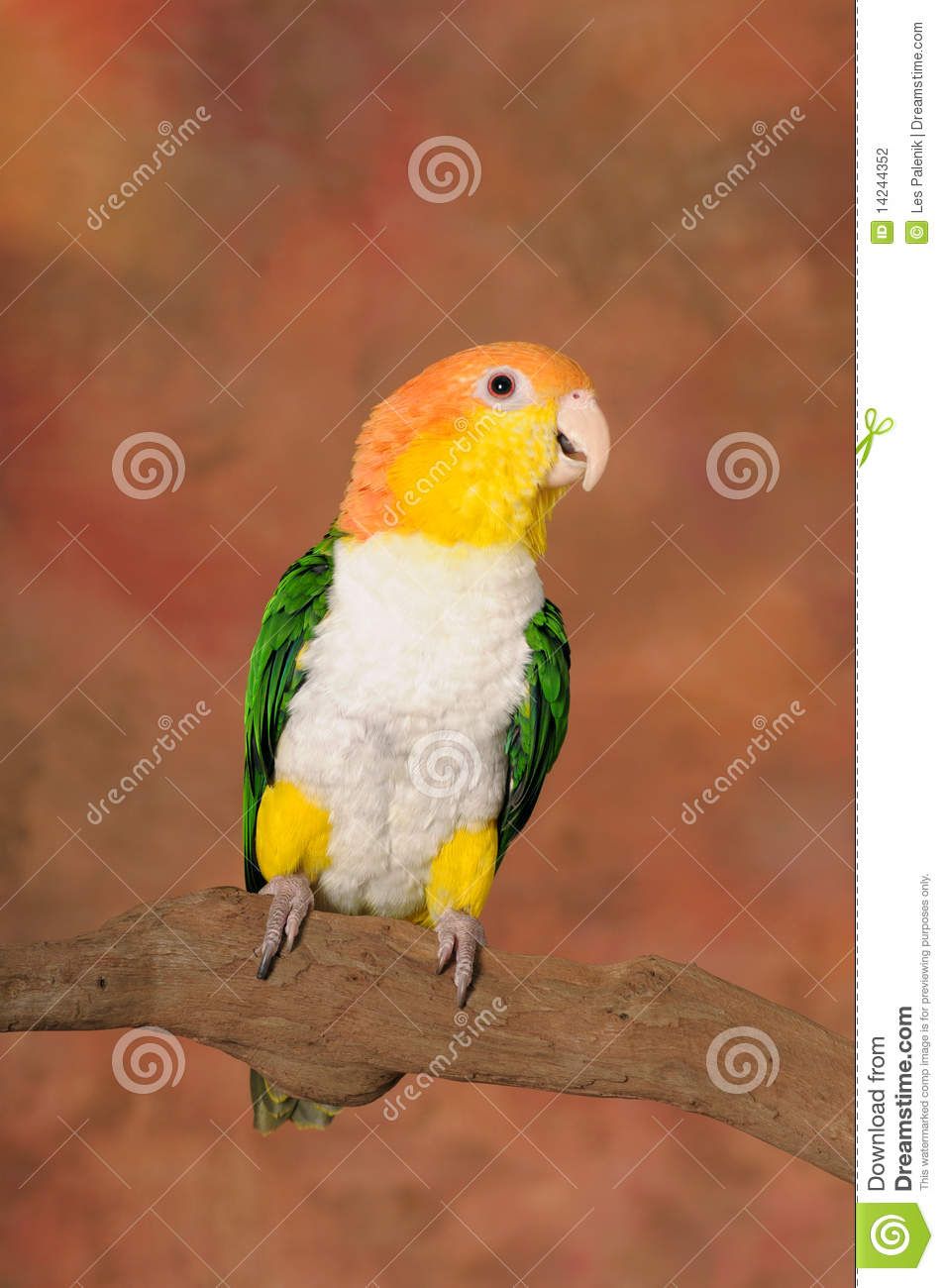White Bellied Caique Parrot Stock Photography.