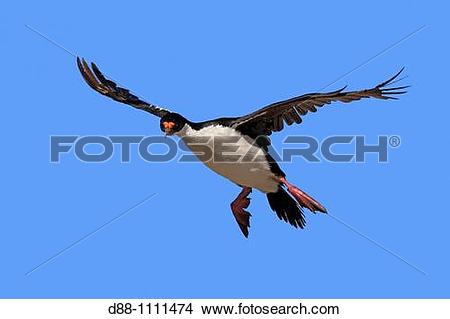 Stock Photo of King Cormorant or White.