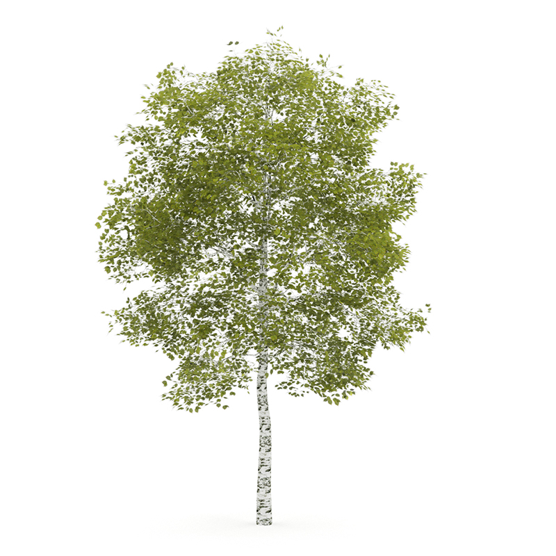 White Birch Tree PNG Transparent White Birch Tree.PNG Images..