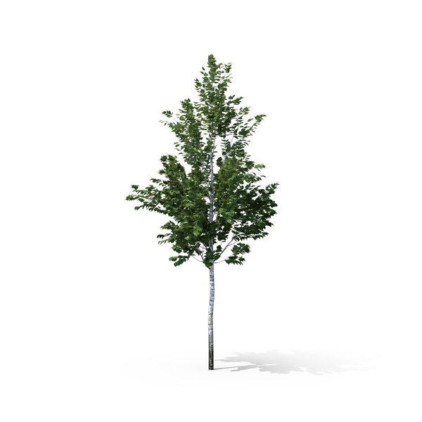 Birch Tree PNG Images & PSDs for Download.