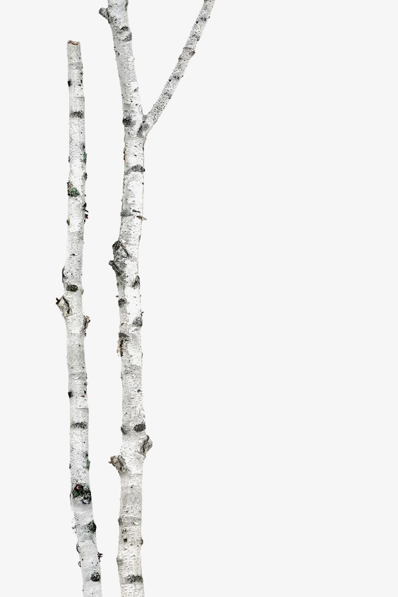 Png Birch Tree Trunk & Free Birch Tree Trunk.png Transparent Images.