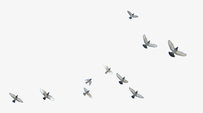 Flying Birds Png.