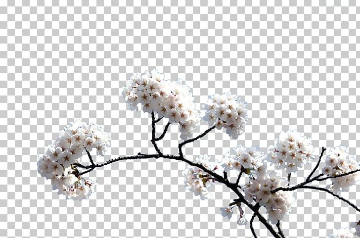 Cherry Blossom PNG, Clipart, Adobe Illustrator, Background White.