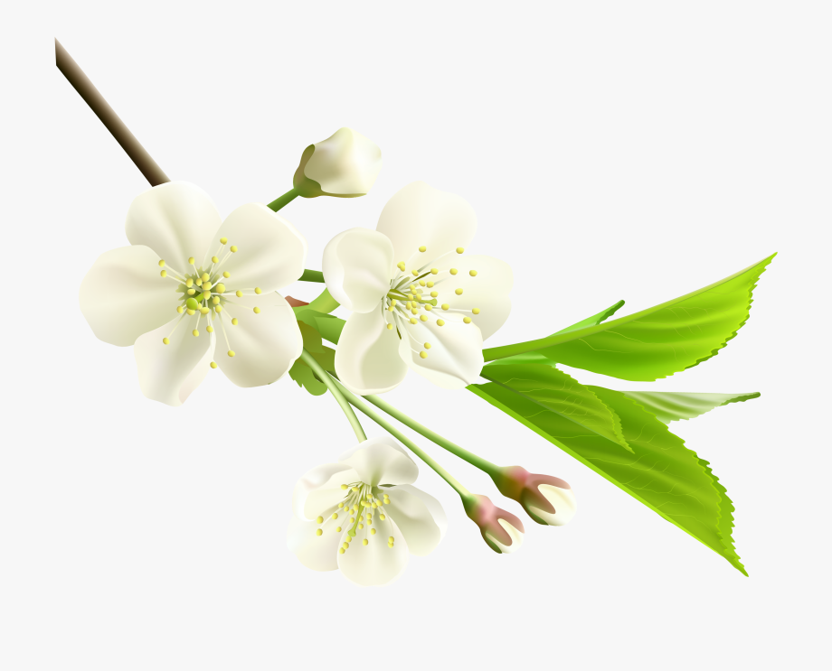 Spring Branch With White Tree Flowers Png Clipart.