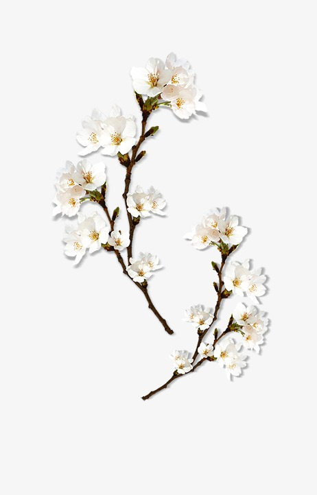 Peach Blossom, White, Branches PNG Transparent Clipart Image and PSD.