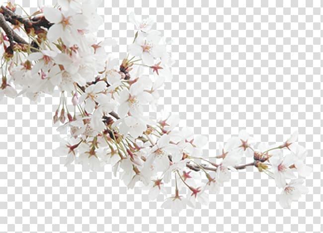 Blossom Publicity, White peach transparent background PNG clipart.