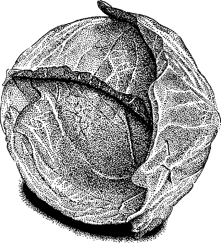 Clipart cabbage black and white.