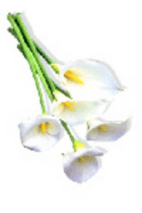 Clipart Picture of White Calla Lilies.