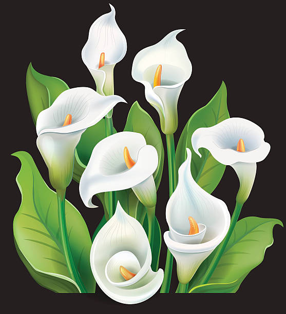 Best Calla Lily Illustrations, Royalty.
