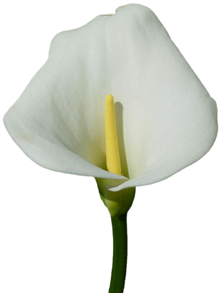 Large Calla Lily PNG Clipart.