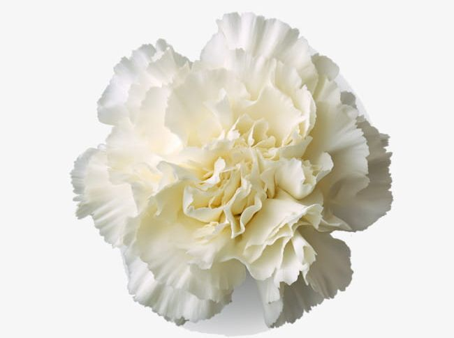 White Carnation Flower PNG, Clipart, Beautiful, Beautiful.