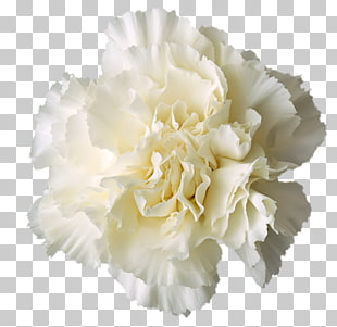 207 white carnations PNG cliparts for free download.