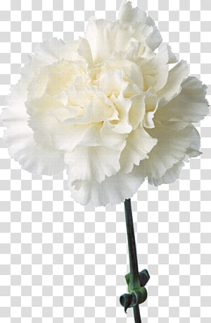Carnation transparent background PNG cliparts free download.