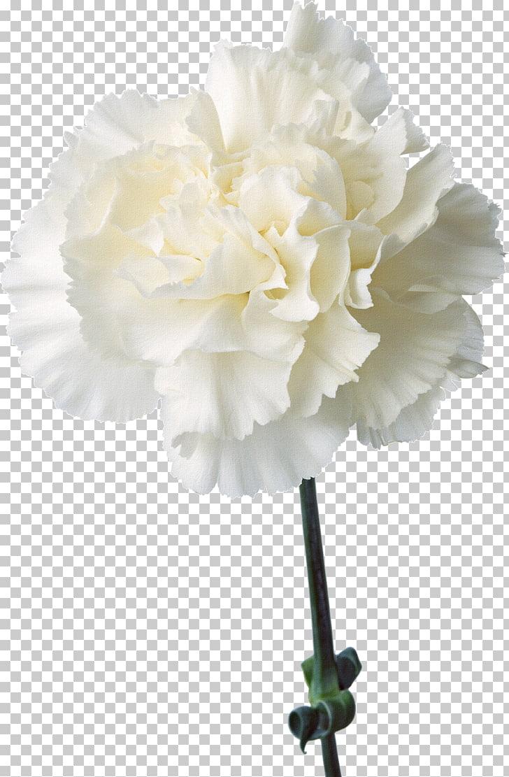 Carnation Cut flowers Birth flower Plant, Floral design.