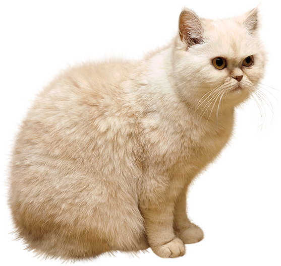 White Cat PNG Picture.