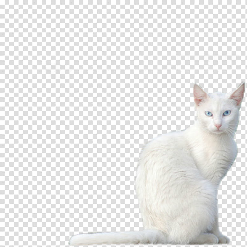 White Kitty , sitting white cat transparent background PNG.