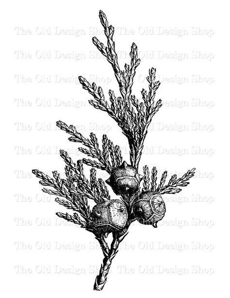 Yellow Cedar Tree Branch Leaves Cones Botanical Clip Art.