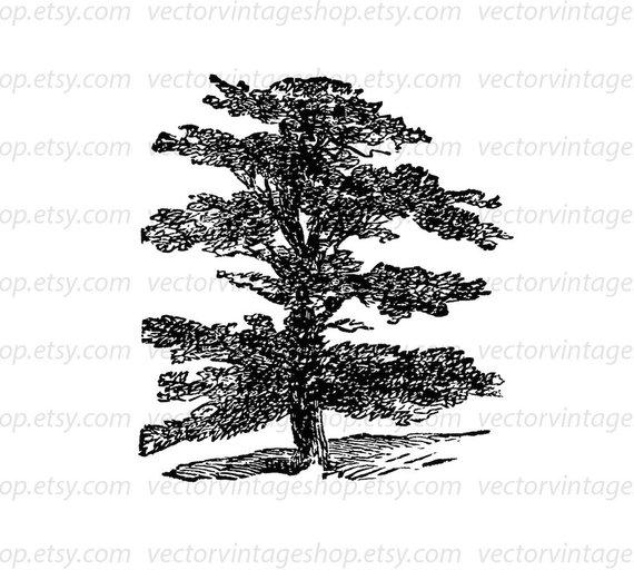 Cedar Vector Clipart Instant Download Evergreen Cedar of.