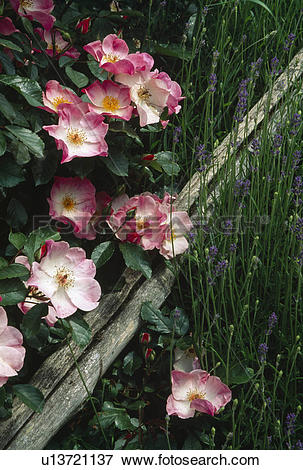 Picture of Close up of shrub rose with single flowers.