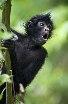 White cheeked spider monkeys clipart clipart images gallery.