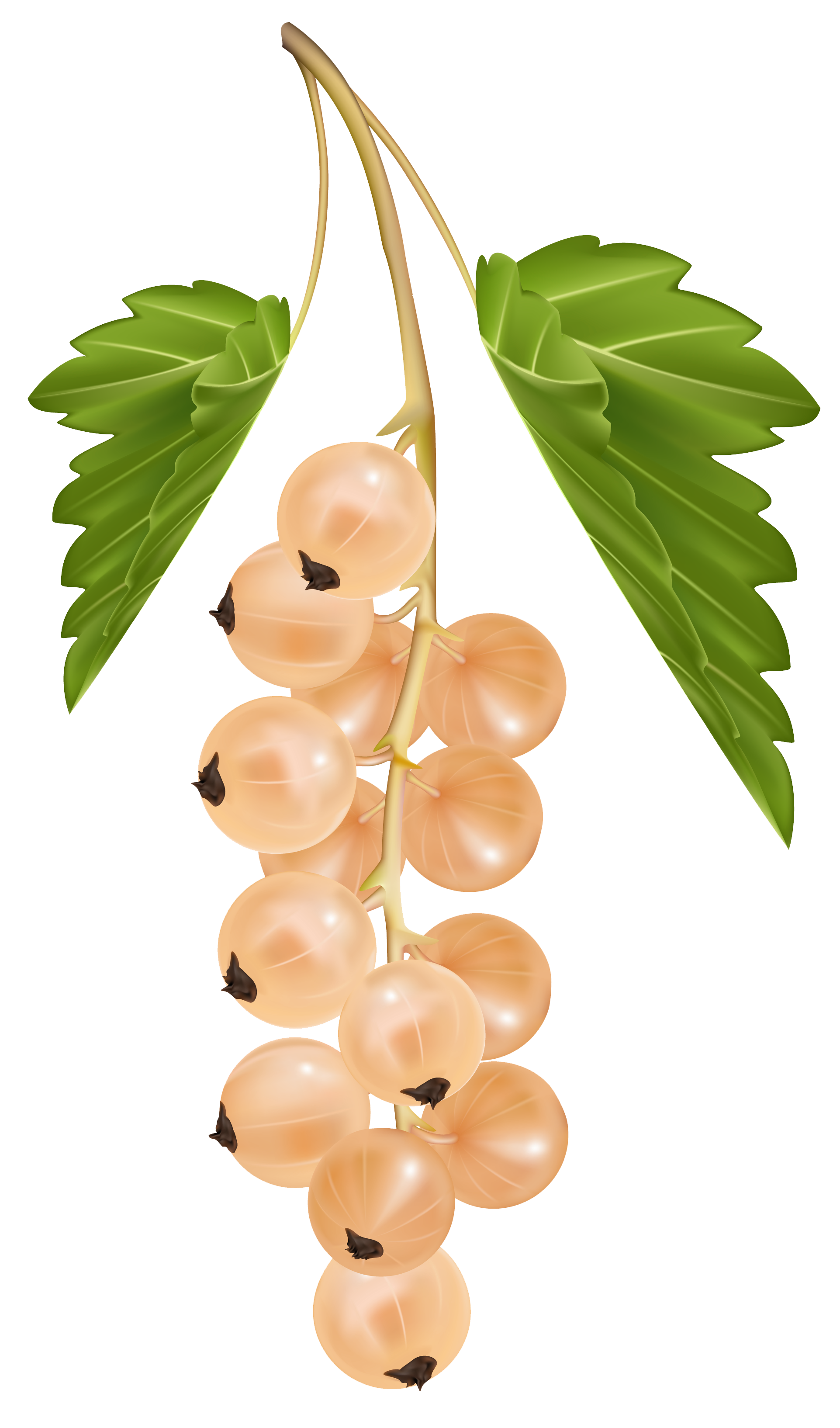 White Currant PNG Vector Clipart Image.