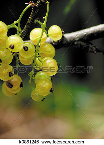 Stock Images of Garden white currant k0861246.