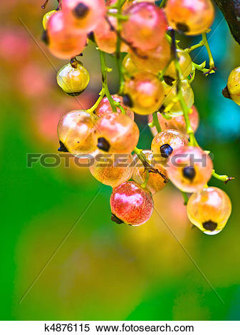 Stock Image of White Currant k4876115.