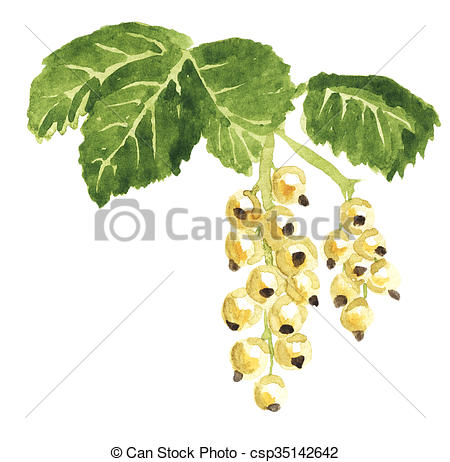 Drawing of White currant watercolor.