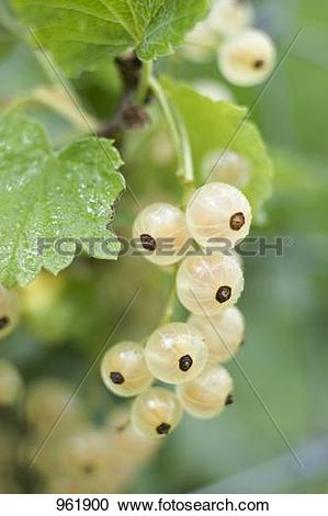 Stock Photography of White currants on the bush 961900.