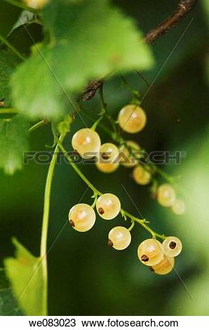 Stock Photo of White Currants (Ribes sativum) we083023.
