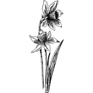 Daffodil Clip Art Black And White.