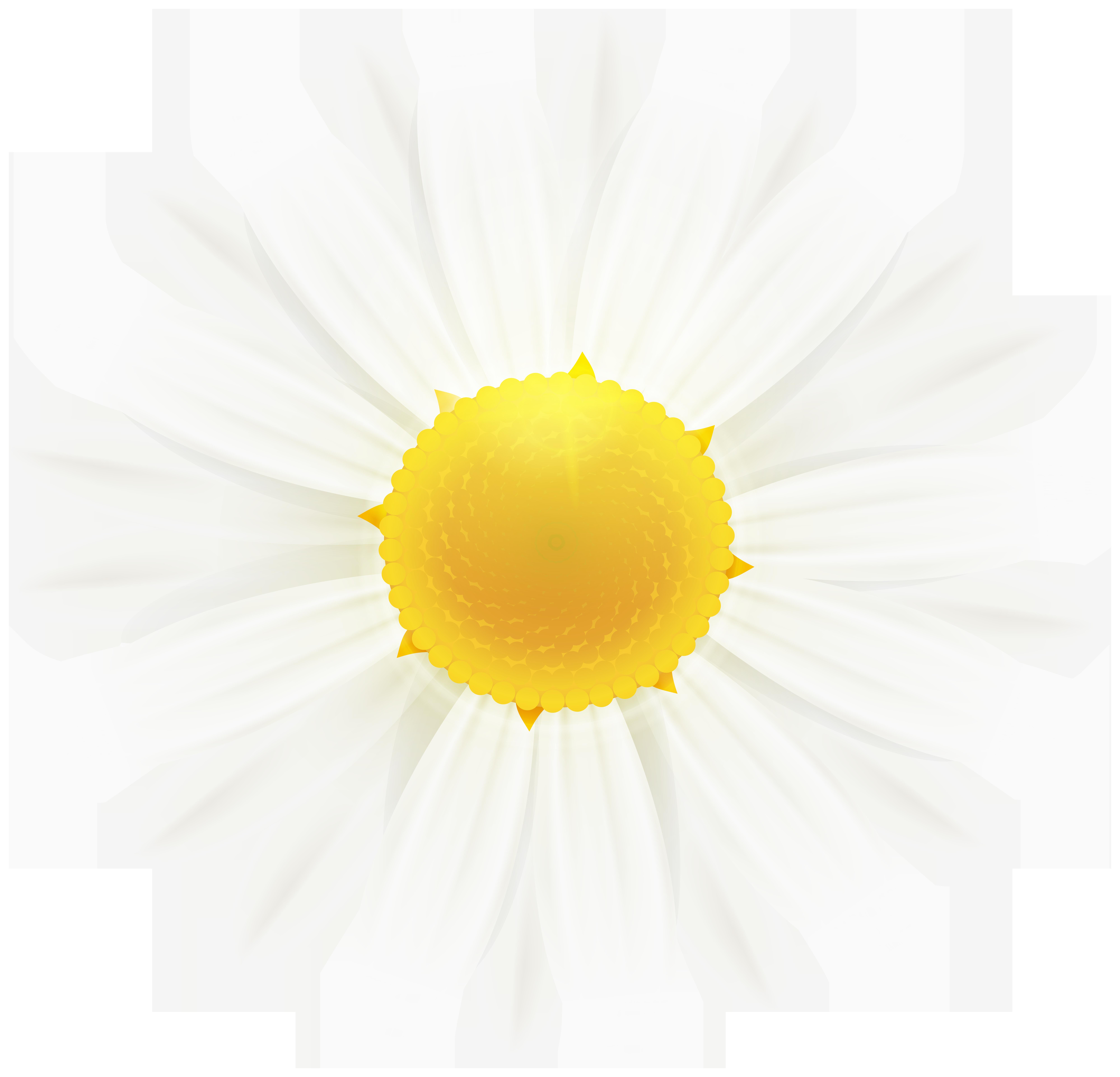 White Daisy Flower Clipart Image.