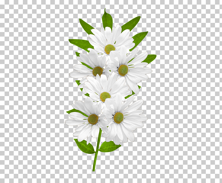 Flower Common daisy , White Daisies , white flowers in bloom.