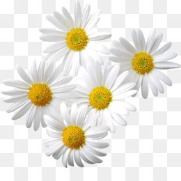 Oxeye Daisy PNG.