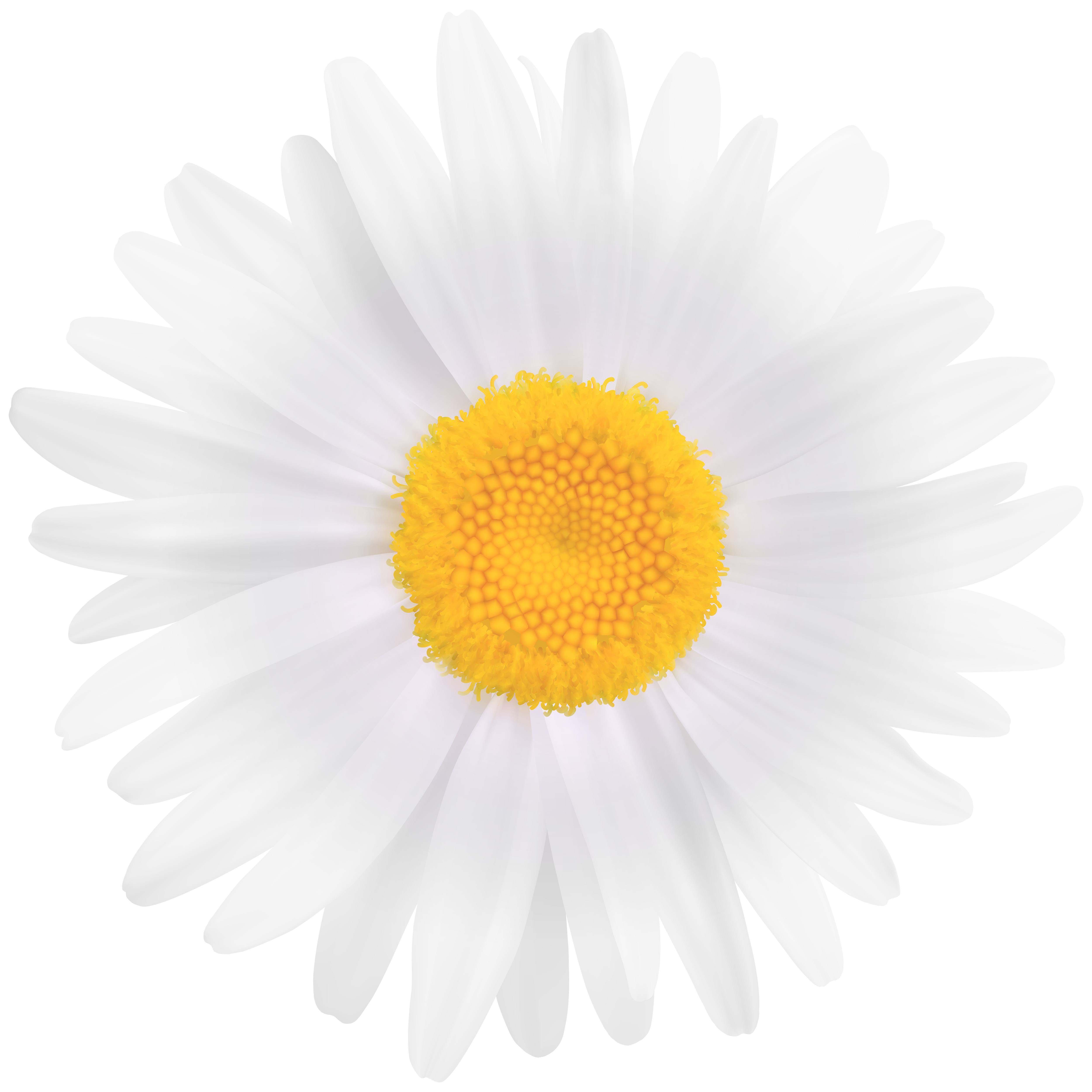 White Daisy Flower PNG Clipart Image.