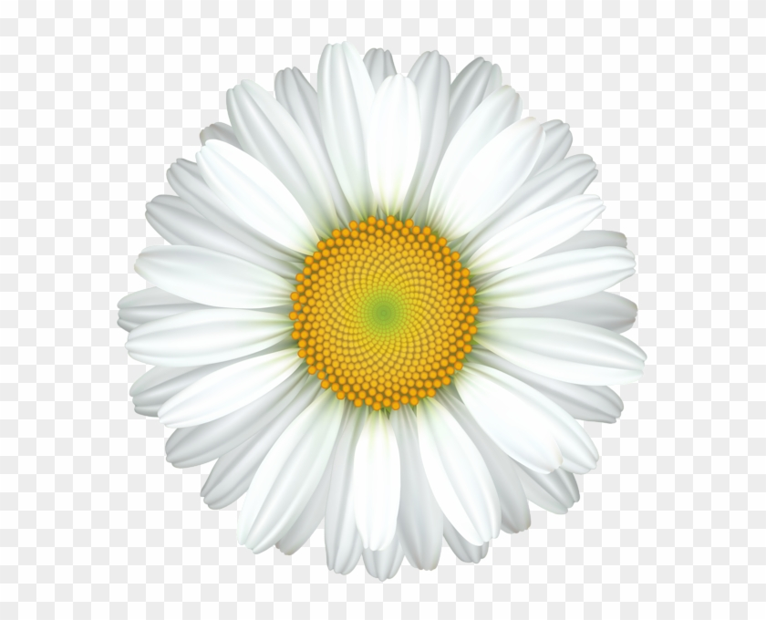 Daisy Flower Transparent Clip Art Image.