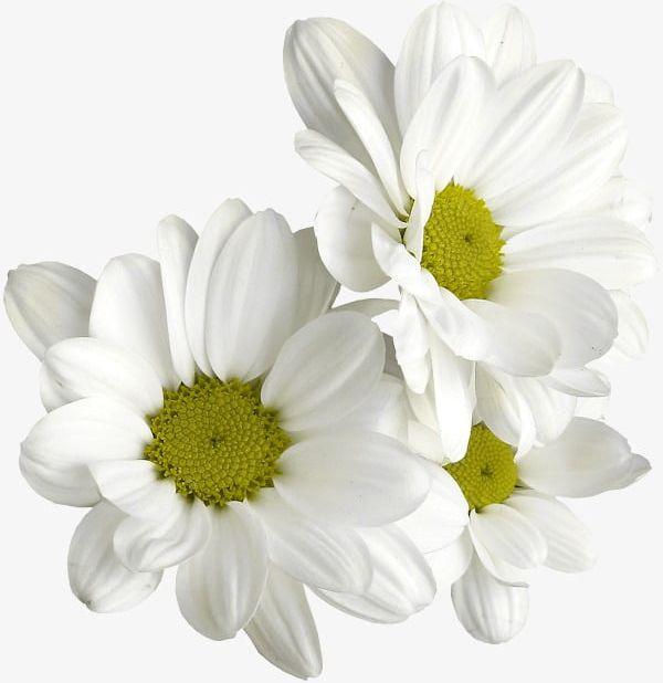 White Daisies PNG, Clipart, Daisies Clipart, Daisy, White, White.