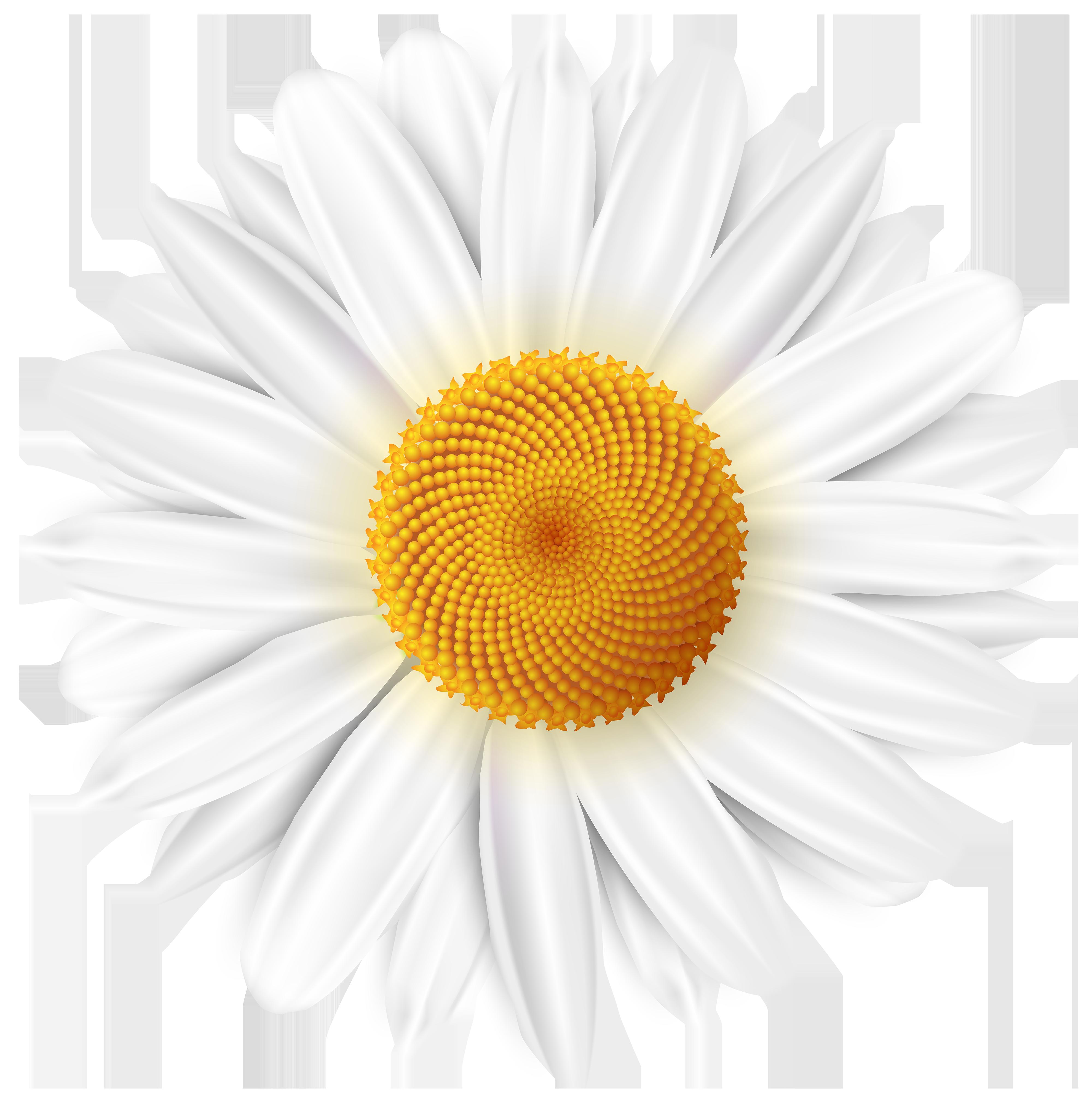 White Daisy Transparent PNG Clip Art Image.