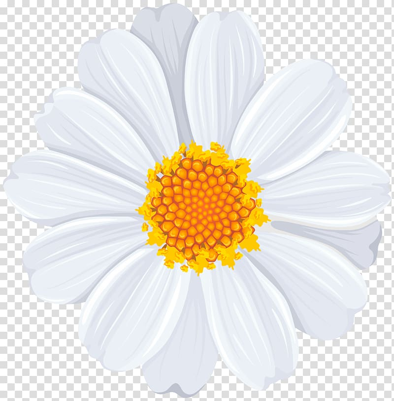 White and yellow petaled flower , Common daisy , White Daisy.