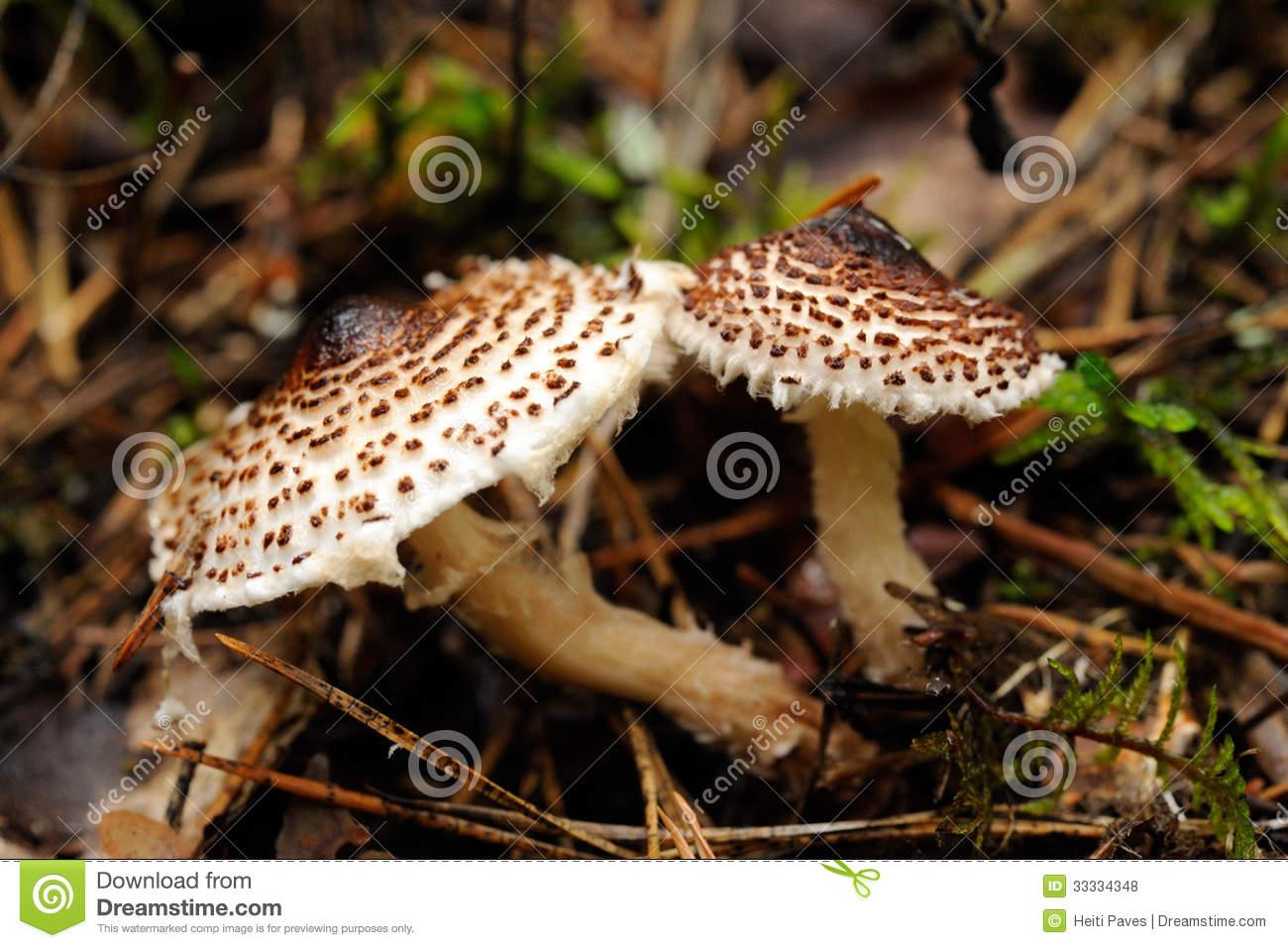White Dapperling Mushroom In Grassland Stock Photo.