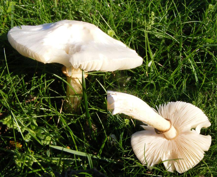 Fungi of Adur, West Sussex 2008.