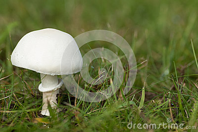 White Dapperling Stock Photography.