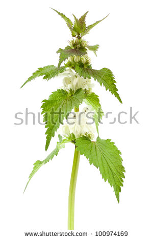 White Dead Nettle Stock Photos, Royalty.