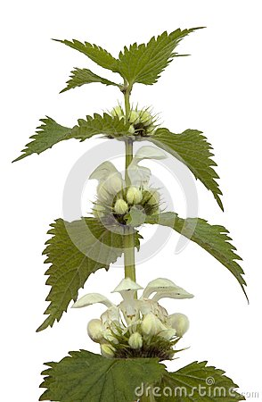 White Deadnettle (Lamium Album) Royalty Free Stock Image.