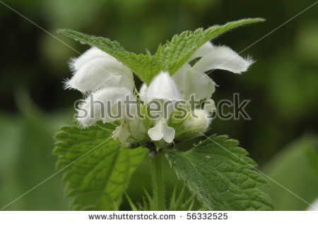 White Dead Nettle Stock Photos, Images, & Pictures.