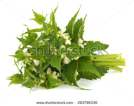 "white Deadnettle"" Stock Photos, Royalty."